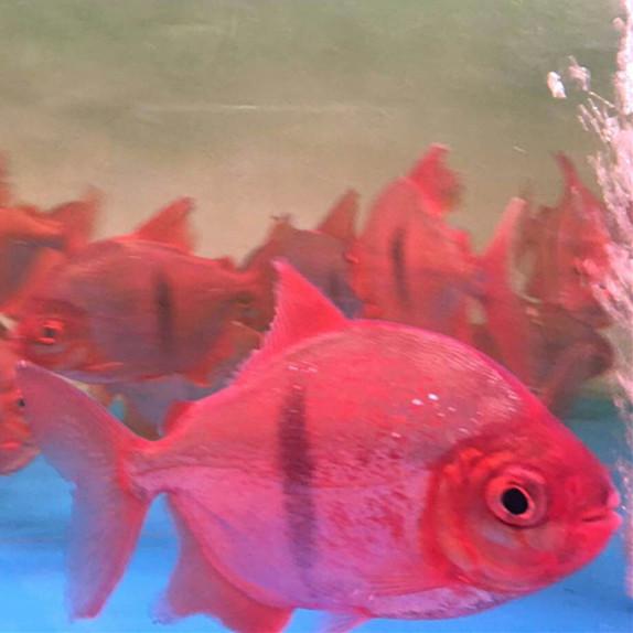 贵港玫瑰银版鱼 贵港水族新品 贵港龙鱼第3张
