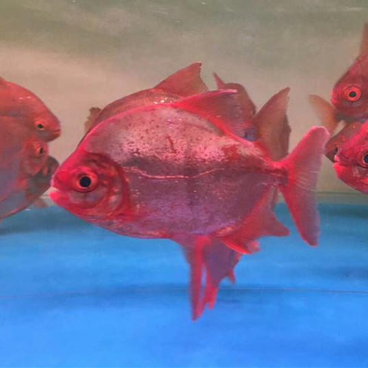 贵港玫瑰银版鱼